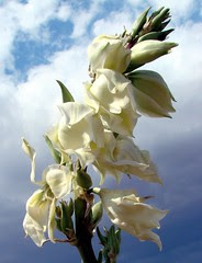 Yucca flowers against oncoming thunderstorm, NM
