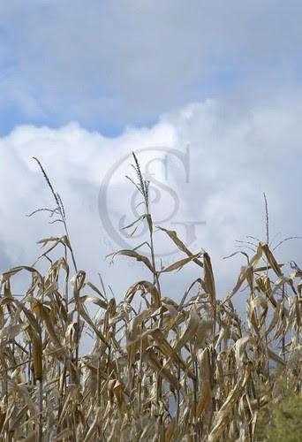 Orillia - Rural -Dried Cornstalks