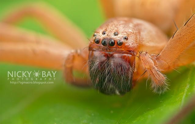 Huntsman Spider (Sparassidae) - DSC_1646