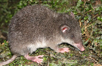 The newly discovered marsupial: Caenolestes sangay with its signature small ears and long snout.