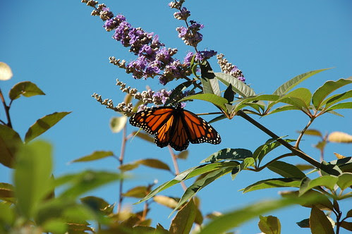 Monarch on unknown shrub