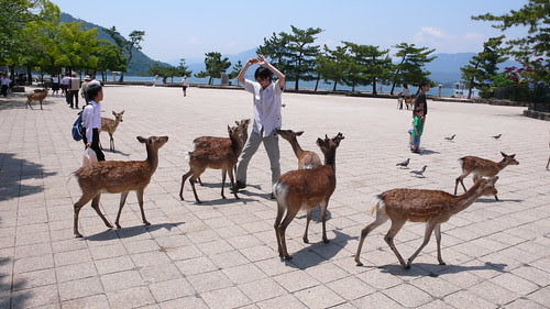 When Deer Attack, Miyajima, Japan