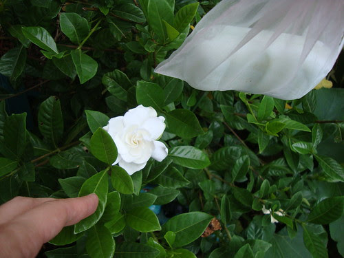 gardenia and protective soap 8/25/12