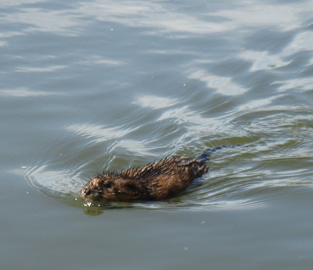 20110509_Gowanus_Canal_muskrat_Ondatra_at_second_street_floating_garden_Adam_Katzman_cropped