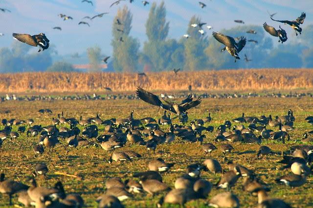 IMG_1734 Aleutian Cackling Geese