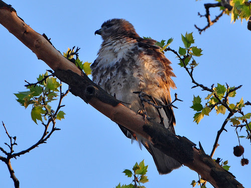 Male Washington Heights Red-Tail