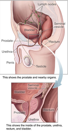 English: Prostate and bladder, sagittal sectio...
