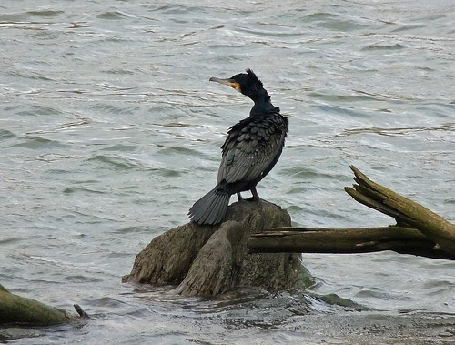 11985 - Cormorant on Ogmore River
