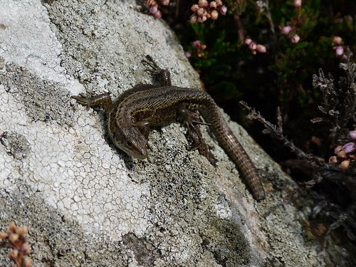 11460 - Common Lizard at Strumble Head