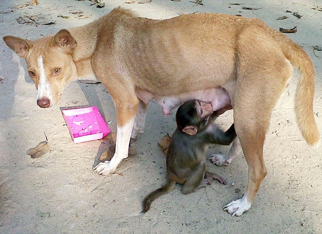 Caring Mintu the dog adopted this baby monkey as her own after angry villagers snatched from a troop of monkeys that had been destroying their rice crop