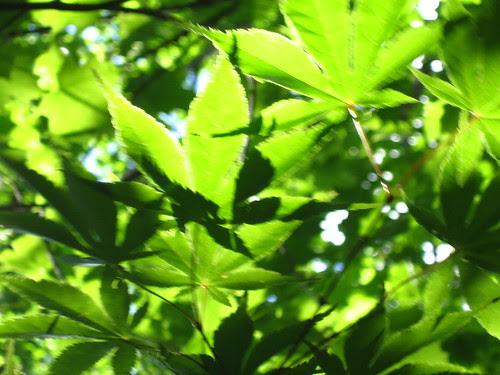 Split Maple Leaves