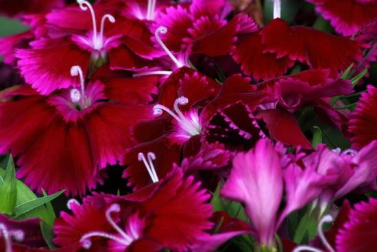 Dianthus Macro