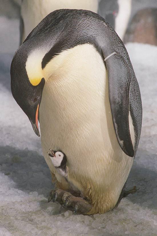 Pinguim-imperador com uma cria; os animais sumiram completamente da península antártica em 2009