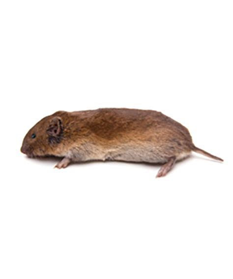 Vole vs Mouse   Bing images