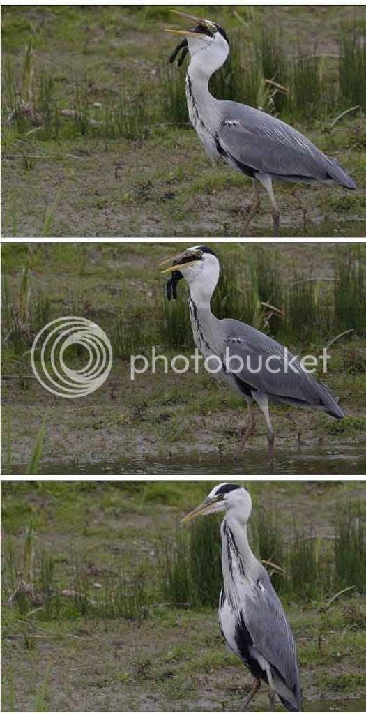 Foto Burung Bangau yang Memakan Kelinci Secara Utuh