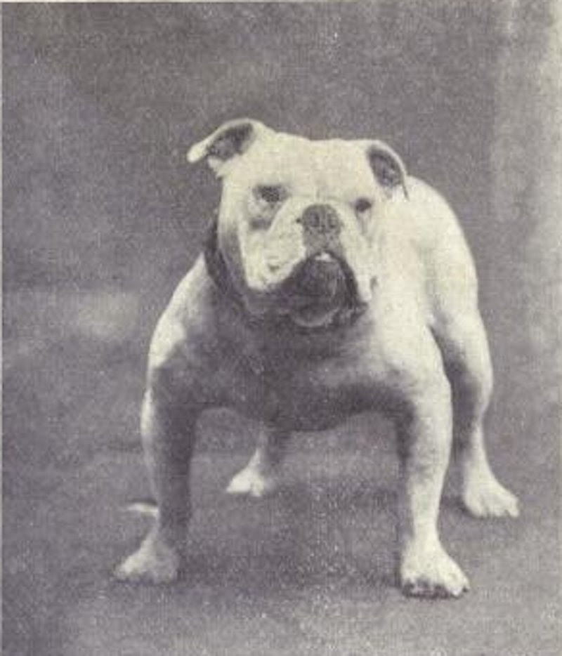 bulldogue (Foto: Dogs of All Nation)