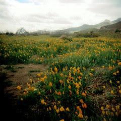 Franklin Mountain Poppies
