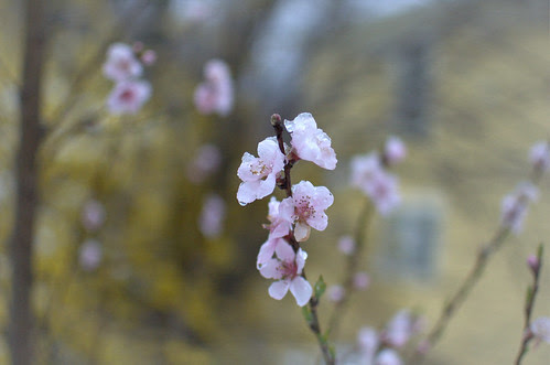 peach blossom by jahansell