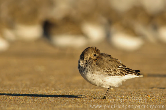 Photograph of a dunlin and its shadow on the beach in Massachusetts
