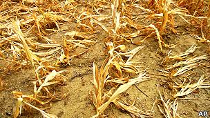 Cultivos destruidos por una sequía