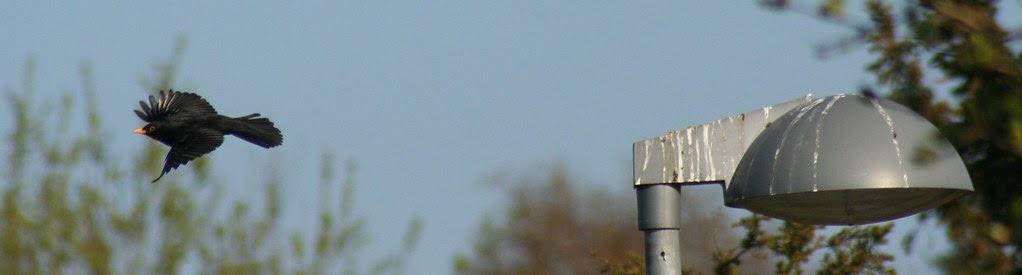 Blackbird and lamppost