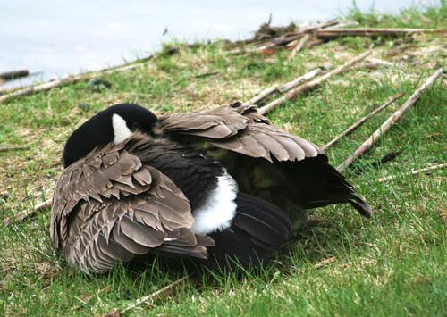 mumma goose