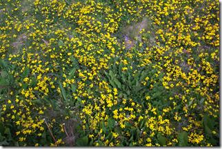 Unregulated Phenylacetaldehyde Emitters Lotus corniculatus L.   growing in the Shetlands!