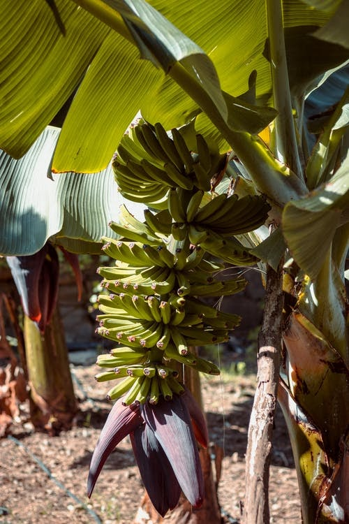 Amazing Health Benefits Of Banana Tree,Its Whole Parts ;