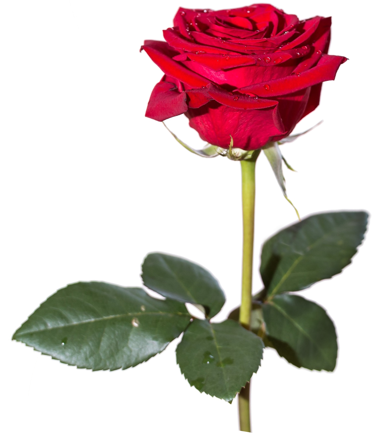 Rose Hd Png Transparent Rose Hd Png Images Pluspng