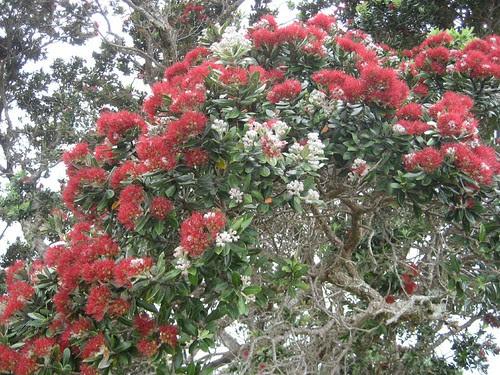 pohutukawa NZ x-mas tree