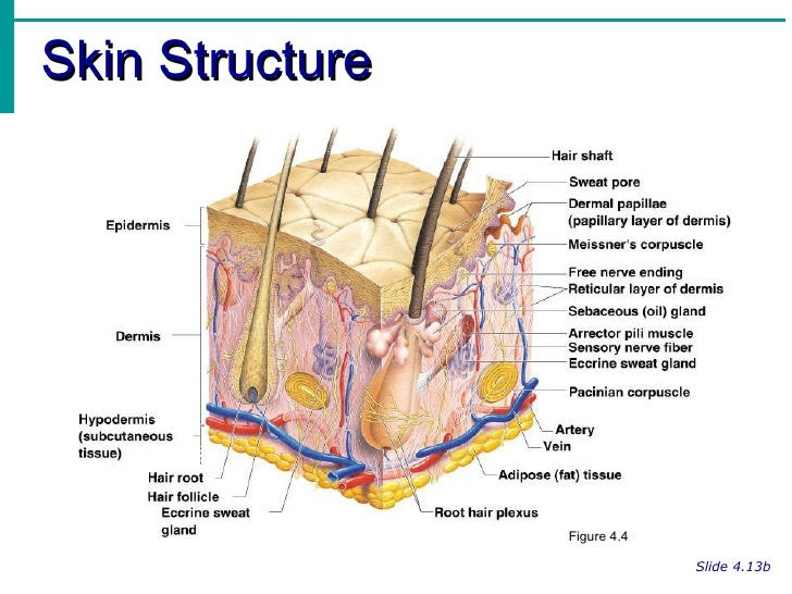 integumentary system notes 4 728