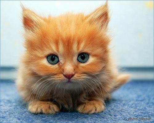 BULU KUCING MENYEBABKAN MANDUL,kesan membela kucing