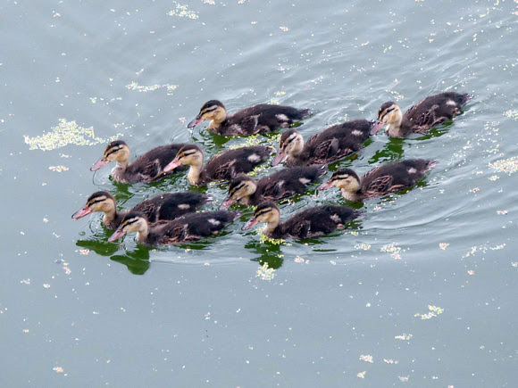 Ed Gaillard: birds &emdash; Raft of ducklings, Turtle Pond, Central park