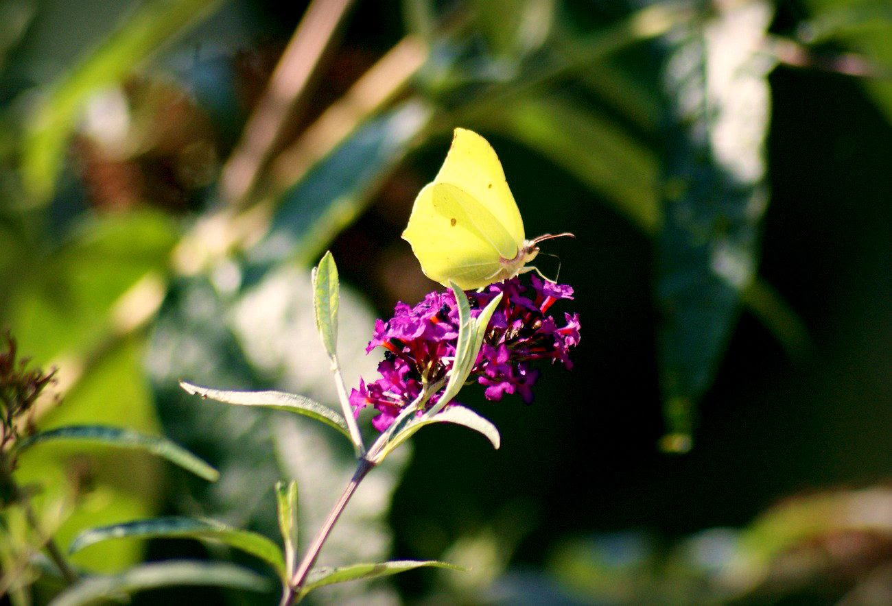 21.8, A beautiful yellow butterfly resting on a butterfly bush I grew in the backyard.