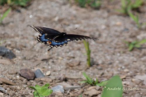 Eastern Black Swallowtail female (Papilio polyxenes)-4.jpg