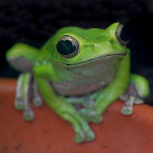 Farbphoto eines zufrieden aussehenden gruenen Frosches