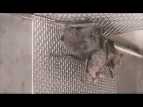 The Big sleep of W.H.O. : Wuhan bat video shows much of pandemic origin information was 'Chinese disinformation' [ Video News by SKY Australia]