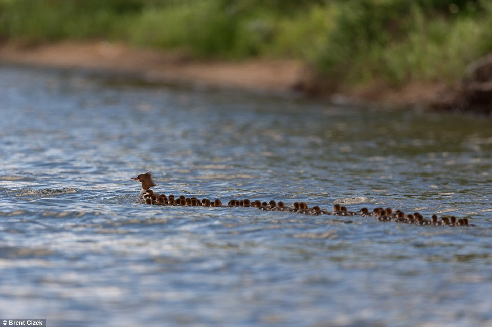 See The Adorable Pictures Of A Mother Duck With 76 Ducklings In Her Care