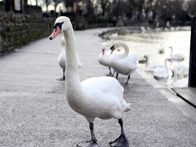 Denuncian indignante ataque a un cisne mientras la pobre cuidaba a sus bebés «Esto es enfermizo»
