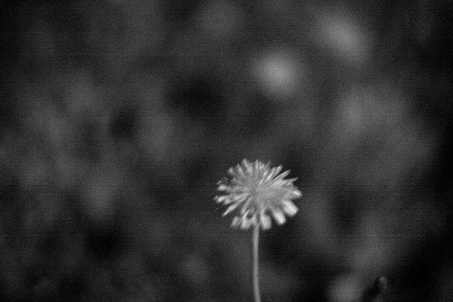 uv dandelion, chimney park