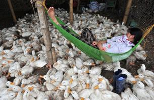 Một em chăn vịt ngủ sau khi cho đàn vịt ăn. AFP