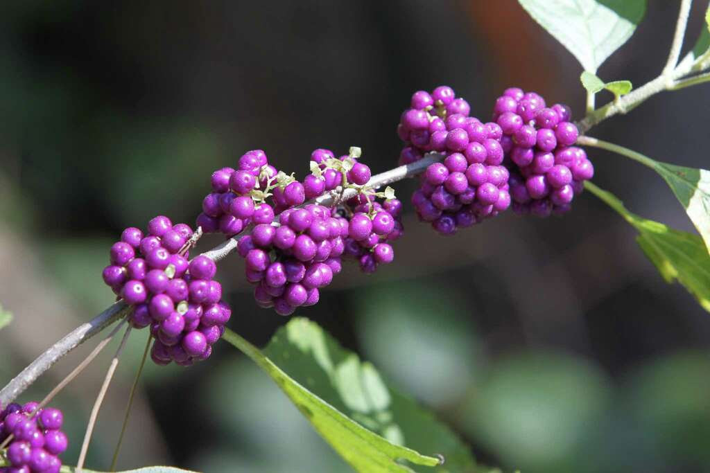 An American Beauty Berry bush along the trail of The Houston Arboretum & Nature Center. Photo: Steve Gonzales, Staff / © 2015 Houston Chronicle
