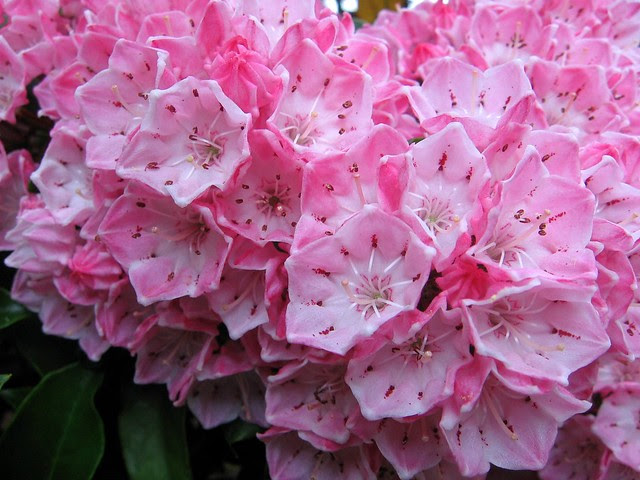 pinkcluster