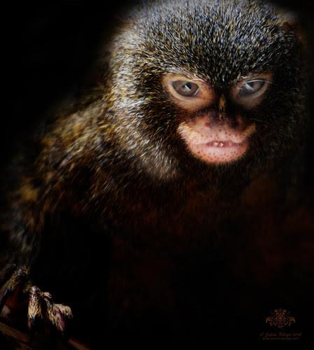Pygmy Marmoset por sabineroediger