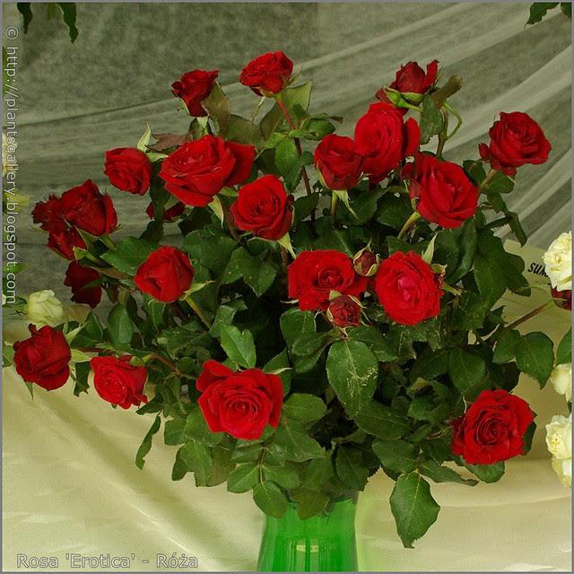 Rosa 'Erotica' - Róża