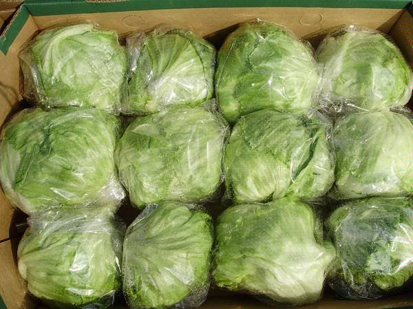 Fresh Iceberg Lettuce Competitive Price We are Egyptian company and we