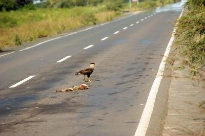 Carcará se alimenta de animal morto, o ciclo natural de presa e predador ganha outros contornos nas estradas. Creative Commons/Max Pixel.