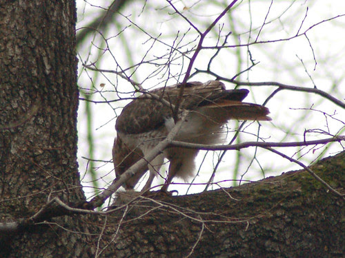 Red-Tail Tristan Feeding by Central Park's Loch