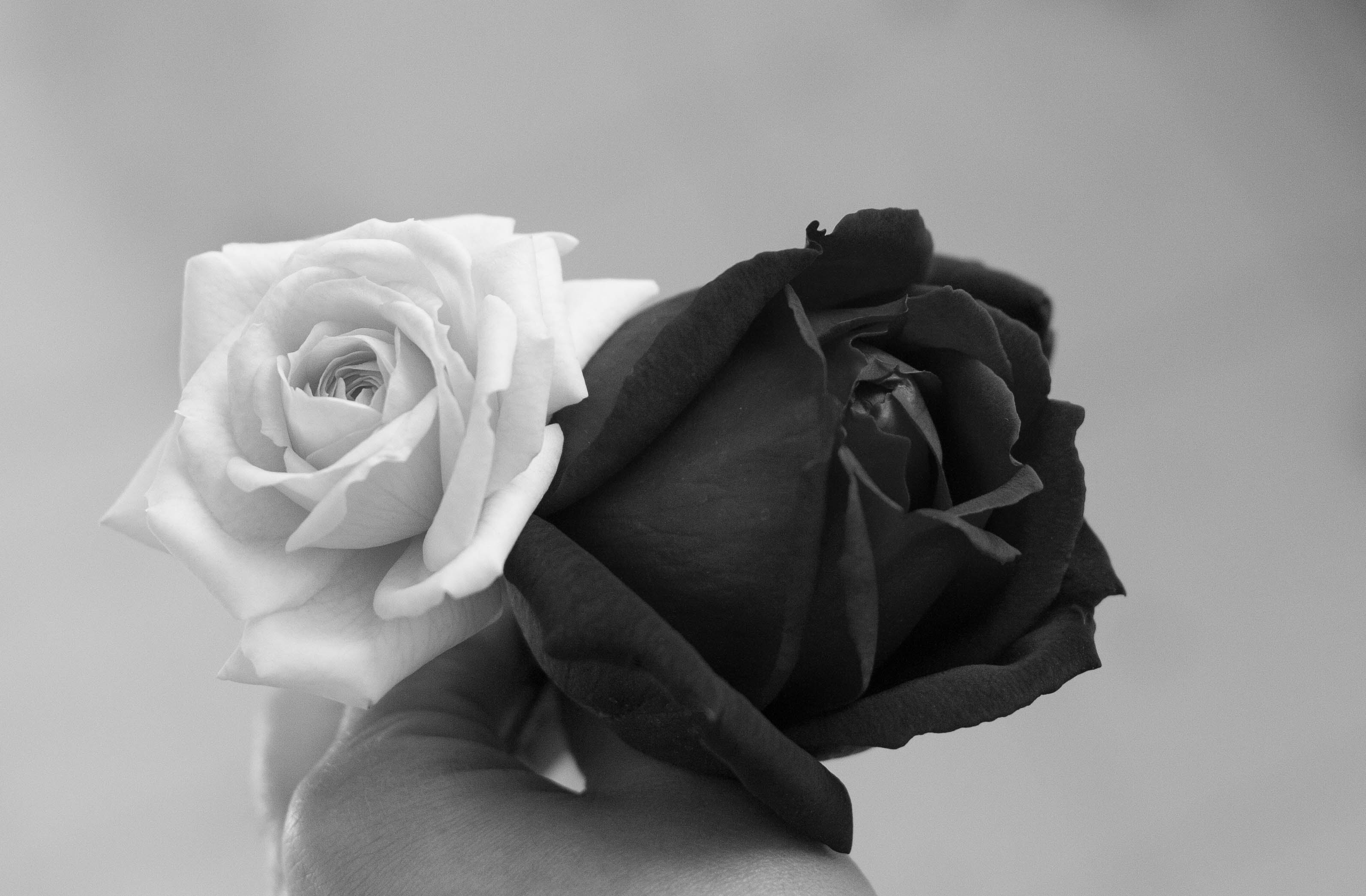 Images Roses Black White Hd Photos Gallery Clip Art Library