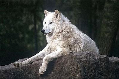 Quiz - What is my Wolf Rank? - YouThink.com